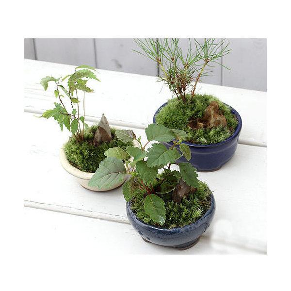 (山野草/盆栽)和盆栽 ミニ樹木苗 鉢おまかせ(3鉢)