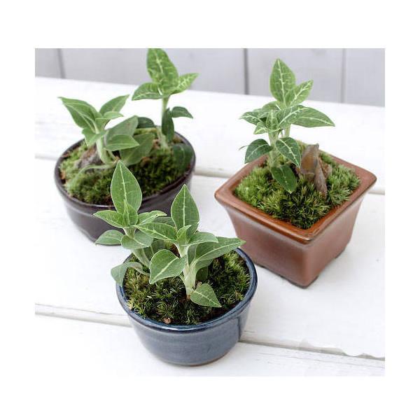 (山野草/盆栽)和盆栽 ミヤマウズラ 鉢おまかせ(1鉢) ジュエルオーキッド