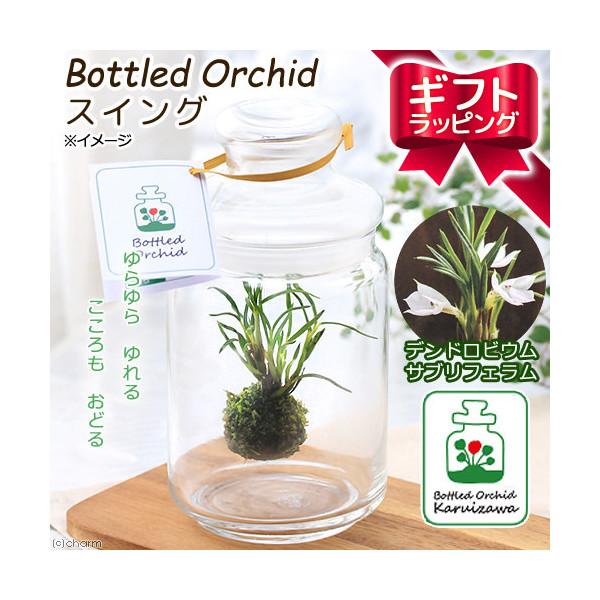 (観葉植物)ギフト ボトルドオーキッド スイング デンドロビウムサブリフェラム 手提げ袋付 本州 四国限定