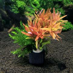 (水草)マルチリング・ブラック(黒) モス付き赤系有茎草 クリスマスカラー(水中葉)(1個) 熱帯魚