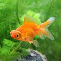 (国産金魚)出目金(デメキン) 素赤(1匹)