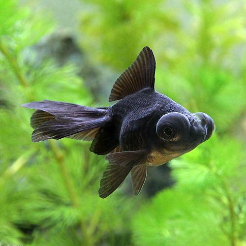 LOHACO - (国産金魚)出目金(...