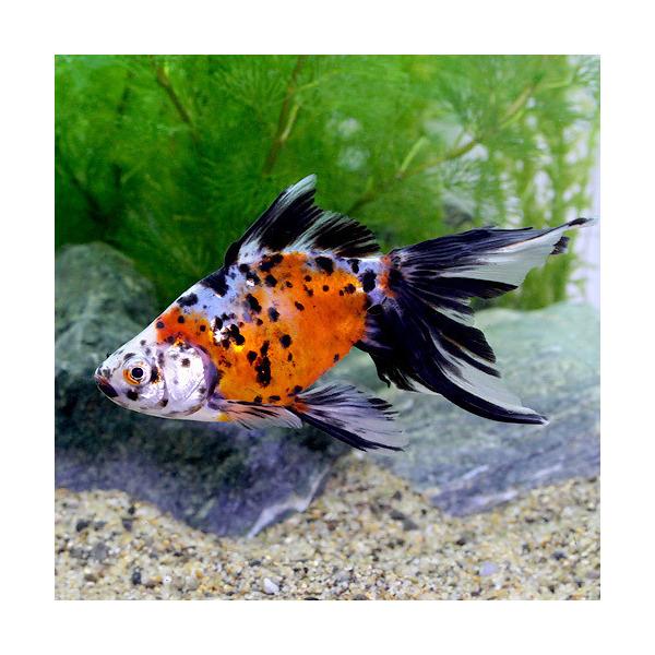 LOHACO - (国産金魚)オーロラ ...