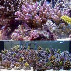 (海水魚 サンゴ)浅場ミドリイシ おまかせ品種(ブリード)(1個) 北海道・九州航空便要保温