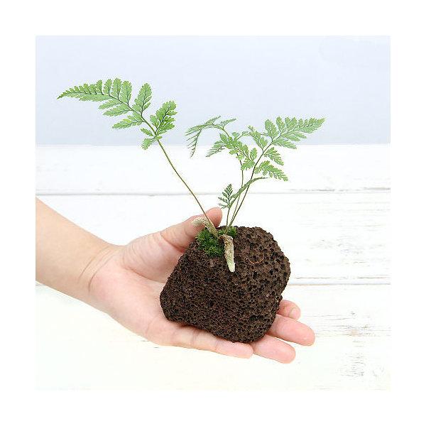 (山野草)ミニトキワシノブ 溶岩石植え(1個)