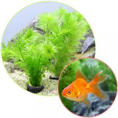 (金魚 水草)マルチリング・ブラック(黒)メダカ・金魚藻セット+よりなし琉金 素赤~更紗(1匹)