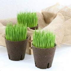 (観葉植物)長さで選べる イタリアンライグラス 直径8cmECOポット植え(短め)(無農薬)(1ポット)