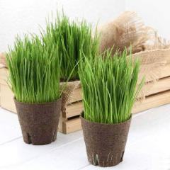 (観葉植物)長さで選べる イタリアンライグラス 直径8cmECOポット植え(長め)(無農薬)(3ポット)