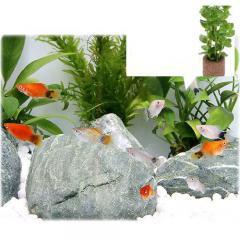 (熱帯魚)(水草)ミックスプラティ(4匹)+ライフマルチ(茶) おまかせロタラ(1個) 北海道・九州・沖縄航空便要保温