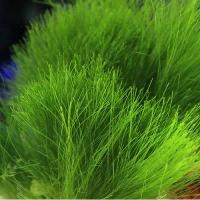 (海水魚)海藻 マユハキモ Mサイズ(1個) 北海道・九州航空便要保温