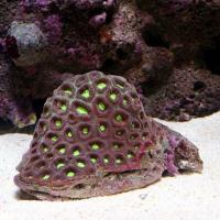 (海水魚 サンゴ)キクメイシ おまかせカラー Sサイズ(1個) 北海道・九州航空便要保温