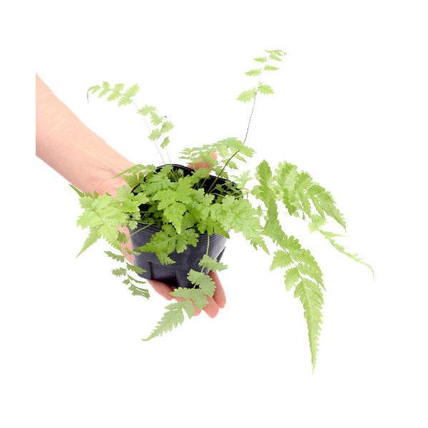 (観葉植物)ビバリウムプランツ おまかせシダ植物 3号ポット(1ポット) 北海道冬期発送不可