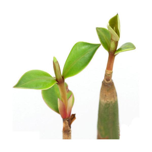 (海水魚)観葉植物 オヒルギ(雄蛭木)(マングローブ)の苗 3.5~4.5号(1ポット) 北海道・九州航空便要保温
