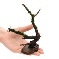 (水草)巻きたて  置くだけ簡単 極上枝状流木 ver.ジャイアント南米ウィローモス Sサイズ(無農薬)(1本)