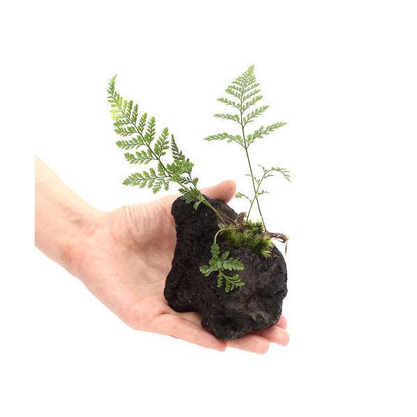 (山野草)ミニトキワシノブ 溶岩石植え(3個)