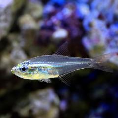 (海水魚)沖縄産 スカシテンジクダイ(1匹) 北海道航空便要保温