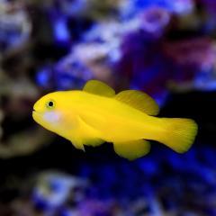 (海水魚)キイロサンゴハゼ(1匹) 北海道航空便要保温