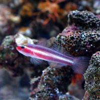 (海水魚)沖縄産 オヨギイソハゼ(1匹) 北海道航空便要保温