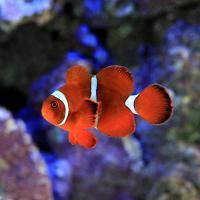 (海水魚)スパインチークアネモネフィッシュ Mサイズ(ワイルド)(1匹) 北海道・九州・沖縄航空便要保温