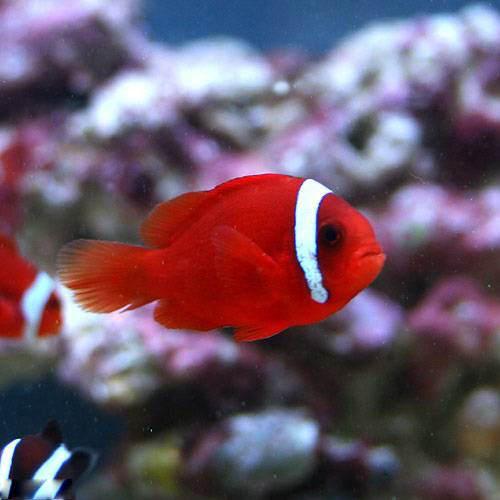 (海水魚)ハマクマノミ(ワイルド)(1匹) 北海道航空便要保温