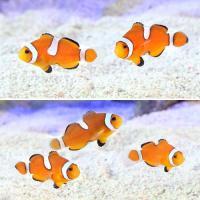 (海水魚)カクレクマノミ イレギュラーバンド(国産ブリード)(1匹)熱帯魚 北海道航空便要保温