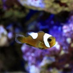 (海水魚)トウアカクマノミ Sサイズ(ワイルド)(1匹) 北海道・九州・沖縄航空便要保温