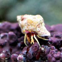 (海水魚)ヤドカリ シダラミギキキヨコバサミ(1匹)