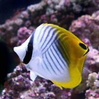 (海水魚)沖縄産 トゲチョウチョウウオ Mサイズ(1匹)
