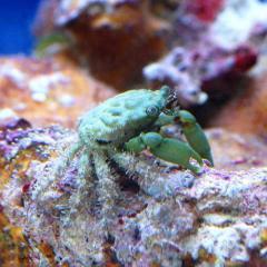 (海水魚)カニ (B品)エメラルドグリーンクラブ(1匹)