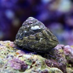 (海水魚)貝 シッタカ貝 ミックスサイズ(10匹)