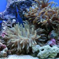 (海水魚)ロングテンタクルアネモネ おまかせカラー Lサイズ(1匹)無脊椎動物