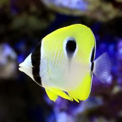(海水魚)イッテンチョウチョウウオ(1匹)