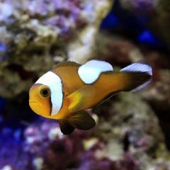 (海水魚)トウアカクマノミ Mサイズ(ワイルド)(1匹) 北海道・九州・沖縄航空便要保温