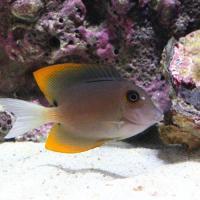 (海水魚)トミニエンシスタン(1匹)