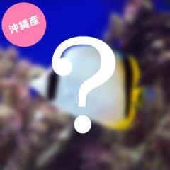 (海水魚)沖縄産 チョウチョウウオミックス(1匹)