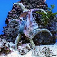 (海水魚 貝 無脊椎)スイジガイ Sサイズ(1匹)