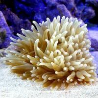 (海水魚)サンゴイソギンチャク Lサイズ(1匹)無脊椎動物