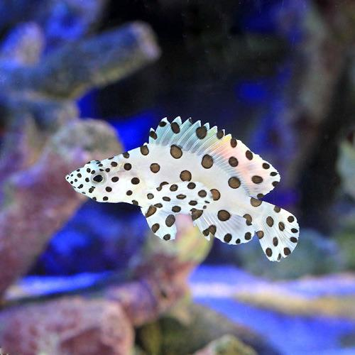 (海水魚)サラサハタ Sサイズ(1匹)
