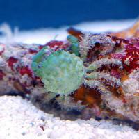 (海水魚)カニ エメラルドグリーンクラブ Lサイズ(1匹)