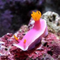 (海水魚)ウミウシ パープルスラッグ(1匹)