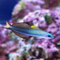 (海水魚)クロユリハゼ Lサイズ(1匹)