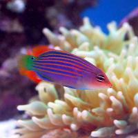 (海水魚)ニセモチノウオ(1匹)