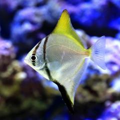 (海水魚)ヒメツバメウオ(1匹)