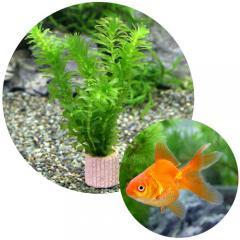 (金魚 水草)ライフマルチ(茶) メダカ・金魚藻セット+よりなし琉金 素赤~更紗(5匹)