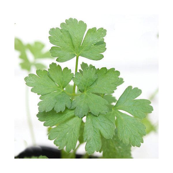 (観葉植物)ハーブ苗 イタリアンパセリ 3号(3ポット) 家庭菜園
