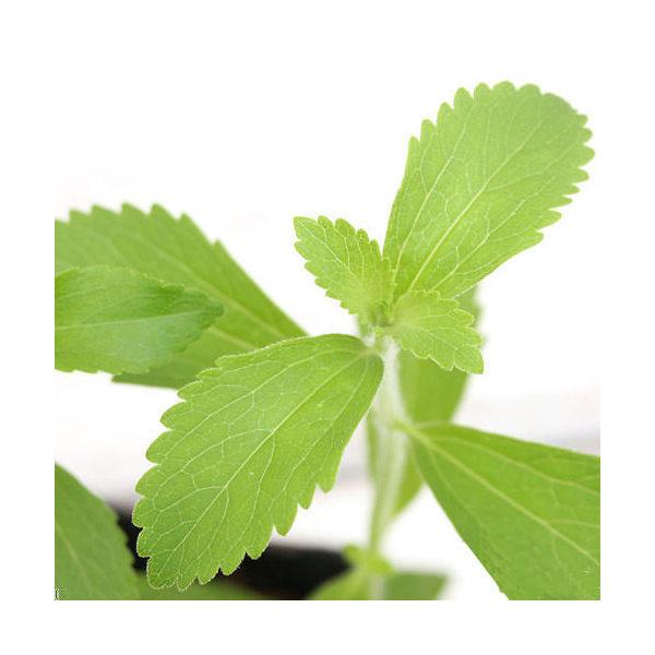 (観葉植物)ハーブ苗 ステビア 3号(1ポット) 家庭菜園 北海道冬期発送不可