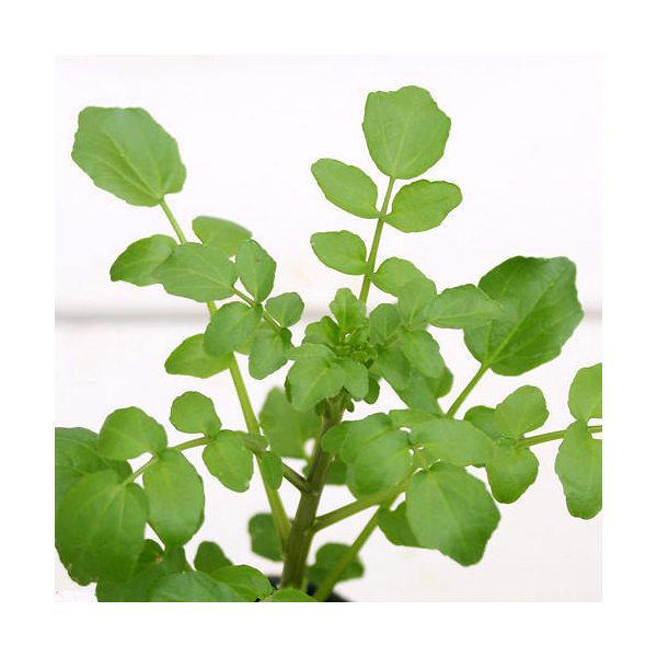 (ビオトープ/水辺植物)クレソン(1ポット)