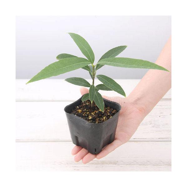 (盆栽)ウラジロガシの苗(裏白樫) 3号(1ポット)