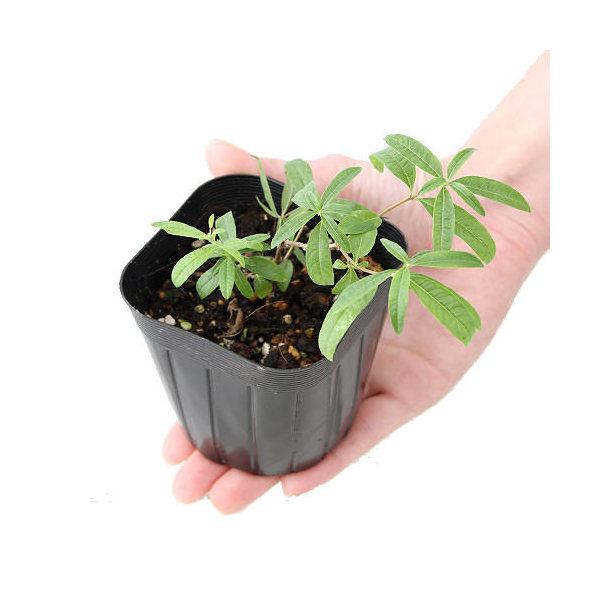 (観葉植物)ハーブ苗 レモンバーベナ 3号(1ポット) 家庭菜園
