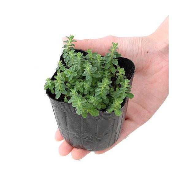 (観葉植物)ハーブ苗 セントジョーンズワート 3号(1ポット) 家庭菜園